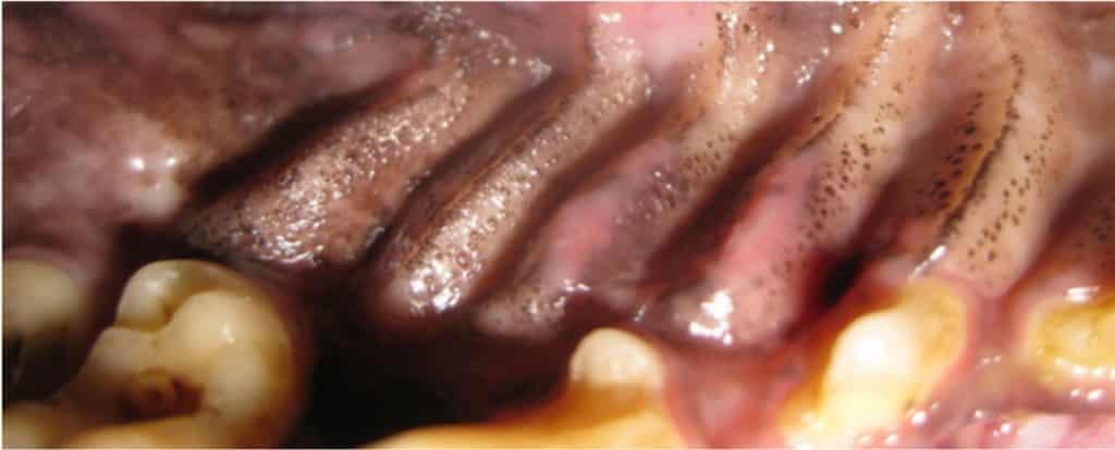 Abb.2 Palatinale Stomatitis bei einem Melanom des Oberkiefers beim Hund